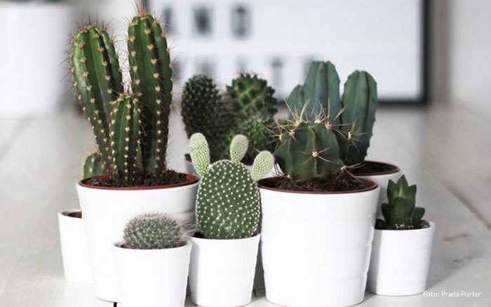 Planta Cacto: �tima op��o para cultivar dentro de casa