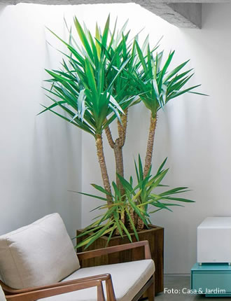 Planta Luca: �tima op��o para cultivar dentro de casa
